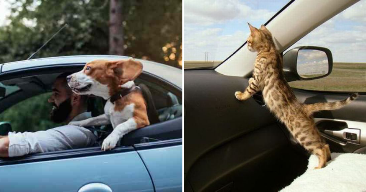 pets2.png - Drivers Could Face A HEFTY Fine For Not Buckling Up Pets In the Car