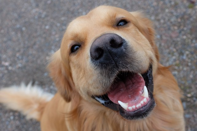 Dog (Golden retriever) having a big smile.