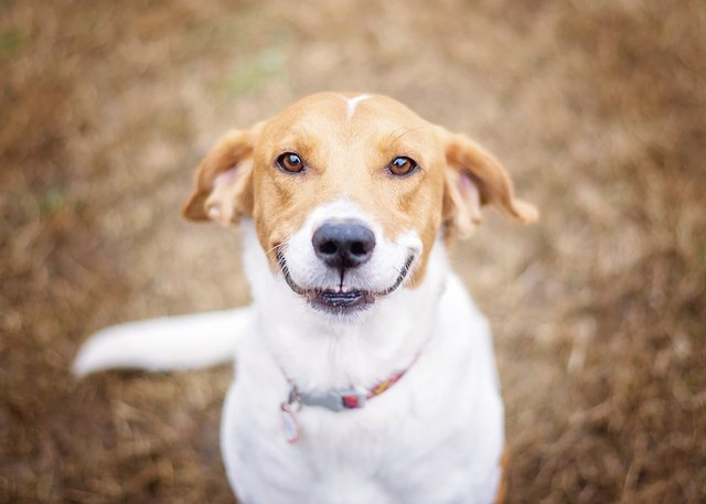 Smiling Beagle Mix