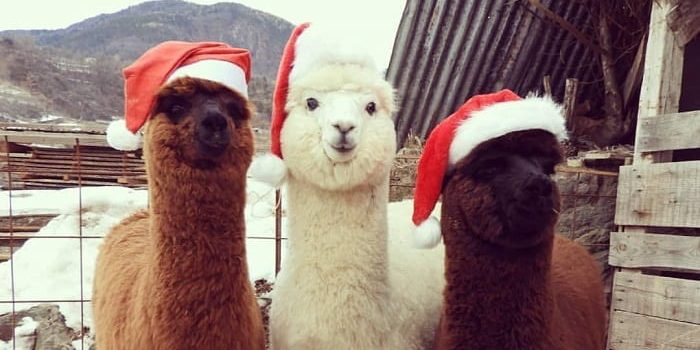 72 14 e1556441643523.jpg - 35 Photos Fluffy Pictures Of Alpacas That Will Make You Touch Your Screen