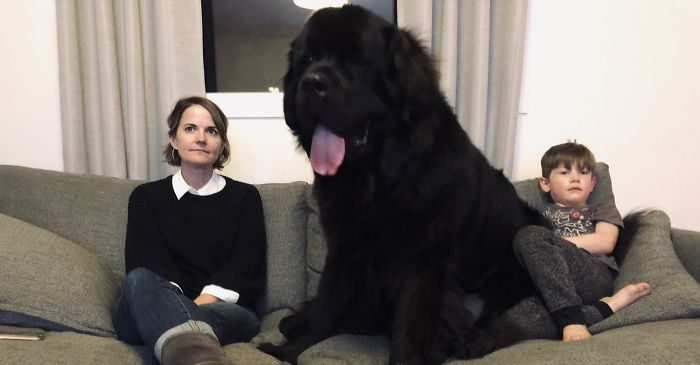 adorable photos of newfoundlands that people posted to show how massive they are 5c5d50ef4756a wyrqhqdo0csvhwjfhia4k1 uux c31eeuxd1tfwoplg  700 e1555054601107.jpg - 30 Adorable Photos Of Newfoundlands That People Posted To Show How Massive They Are