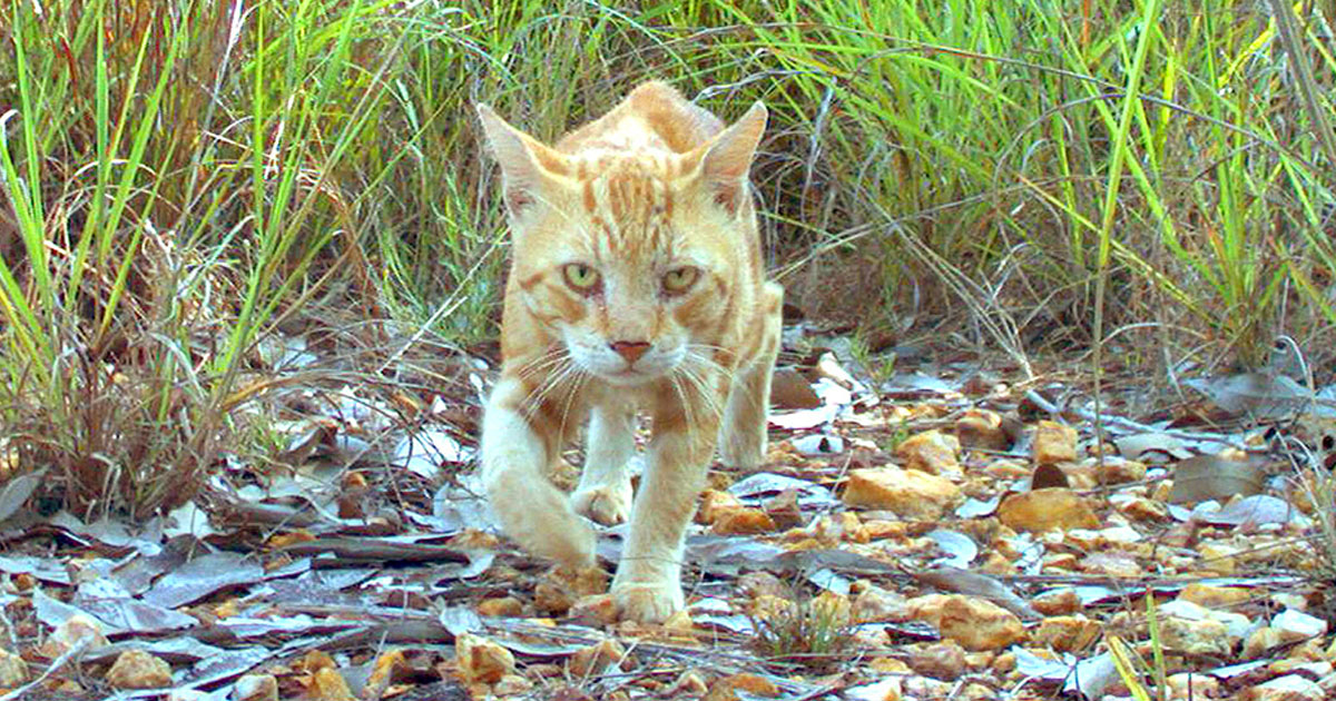 australia to kill cats.jpg - Australian Government Is Planning To Get Rid Of Two Million Feral Cats By 2020