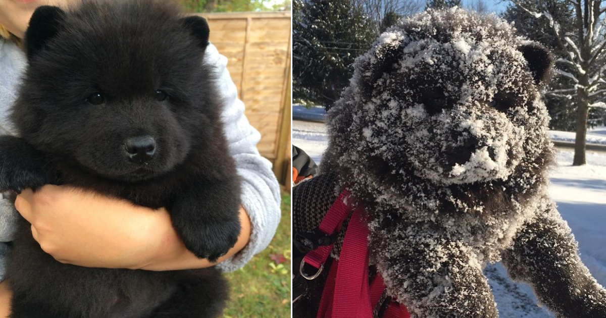 bear or dogs.png - 20+ Dogs Who Could Be Mistaken As Bears