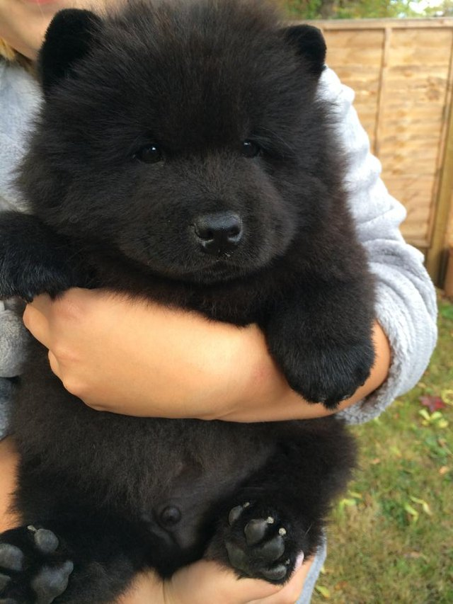 20 Dogs Who Could Be Mistaken As Bears
