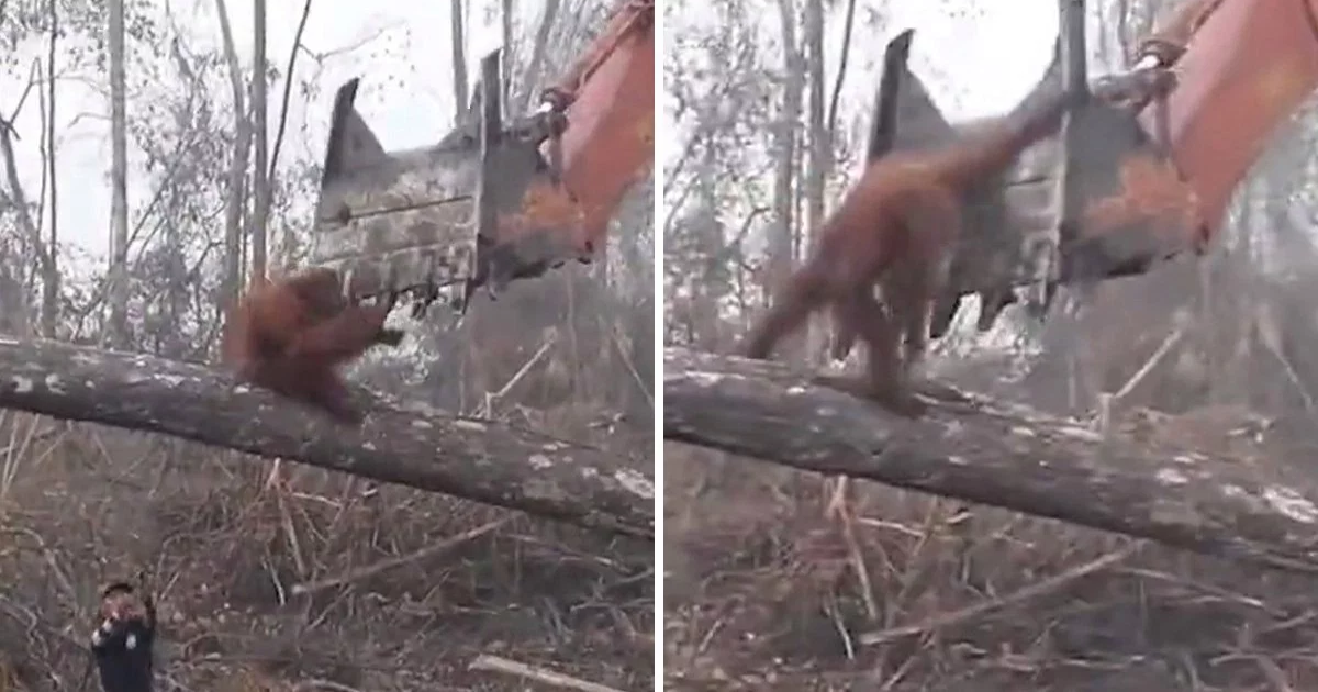 featured image 53.png - Desperate Orangutan Caught On Camera 'Fighting' The Bulldozer That Was Destroying Its Home