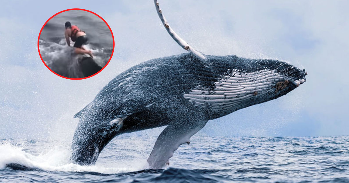 whale rescued.jpg - Fisherman Jumped Into The Ocean And Climbed On A Humpback Whale's Back To Save It