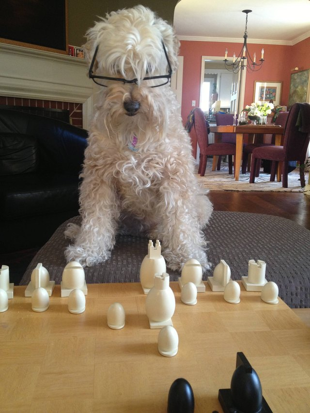 Dog wearing glasses and playing chess.