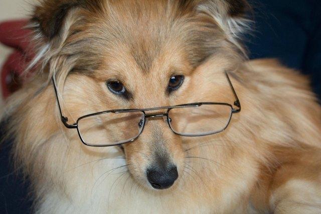 Dog wearing glasses.