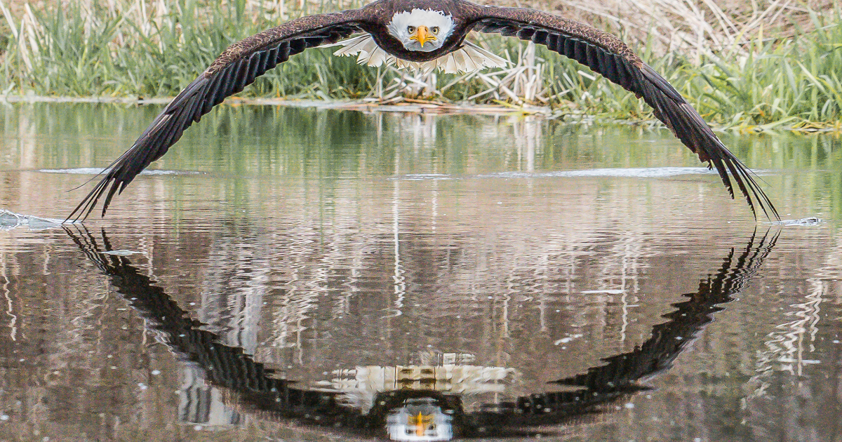 featured image 78.png - Magnificent Picture Of An Eagle Staring Directly Into The Lens Of Camera