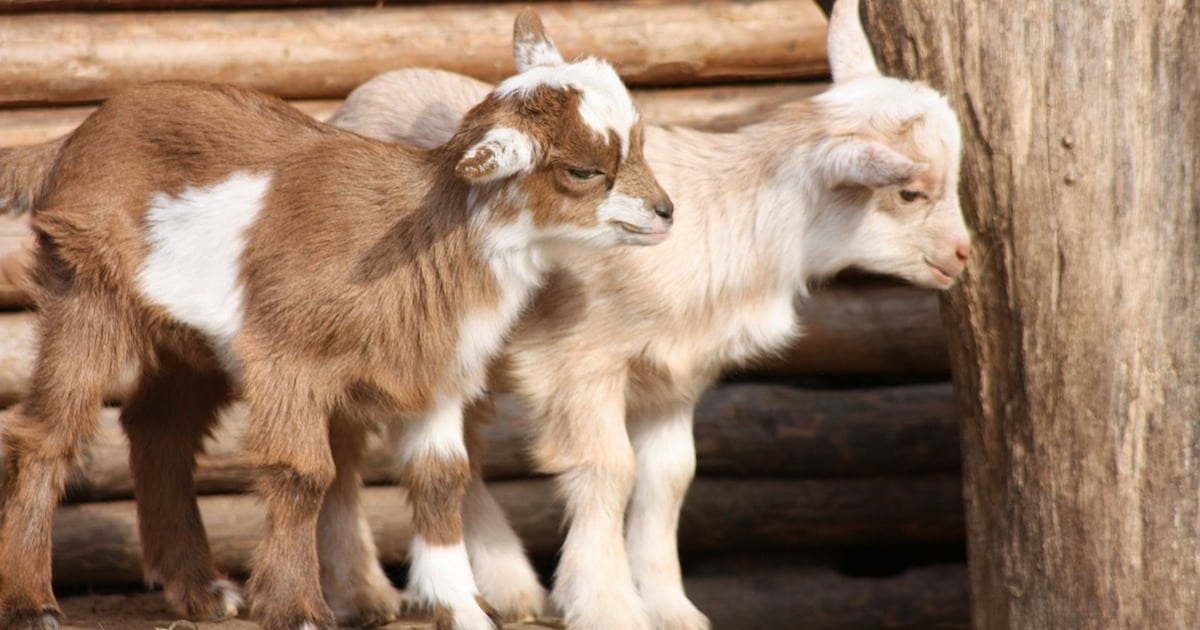 a 4.jpg - Goats Can Tell When You're Smiling And They Really Like It, Study Suggested