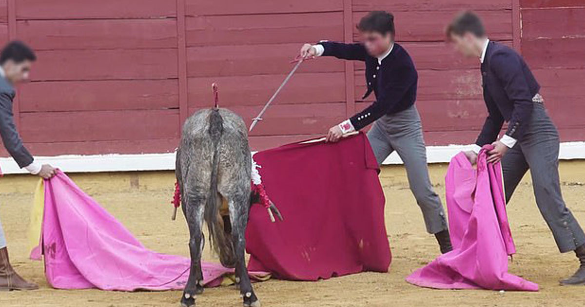 bull ears hack off spain.jpg - Video Of The Bull's Ears Being Hacked Off To Give Children As A Trophy Sparked Outrage