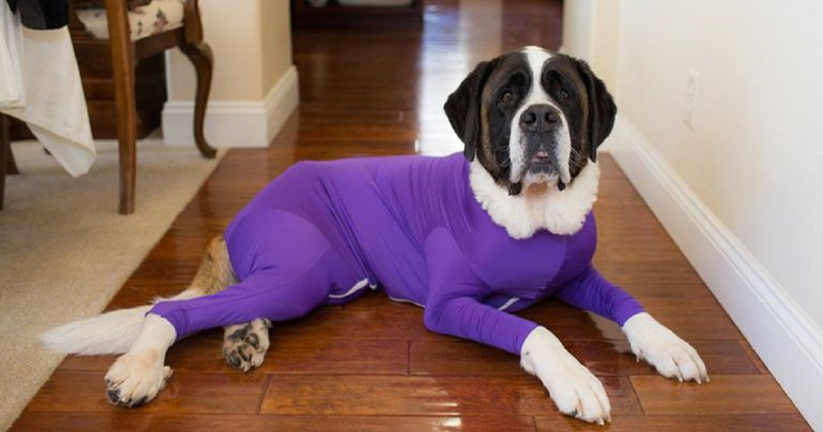 d3 3.jpg - Onesie For Dogs Helps Keep Dog Fur From Spreading All Over Your House