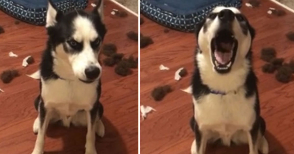 husky destroyed bed.jpg - Husky Refused To Make Eye Contact With His Parents After Destroying His Bed When He Was Home Alone