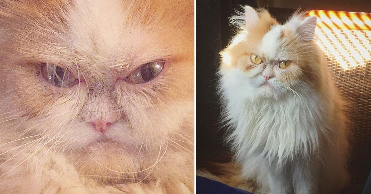louis new grumpy cat.jpg - A Six-Year-Old Persian Cat Is The New 'Grumpy Cat' After The Death Of Tardar Sauce