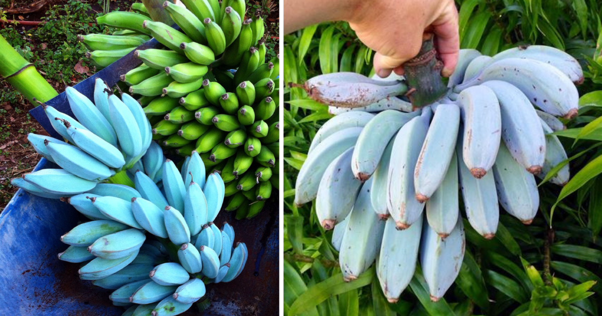 s3 6.png - Blue Java Banana Tastes Like Vanilla According To People Who Tried It
