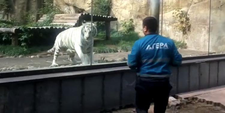 Image of white tiger behind man at zoo.