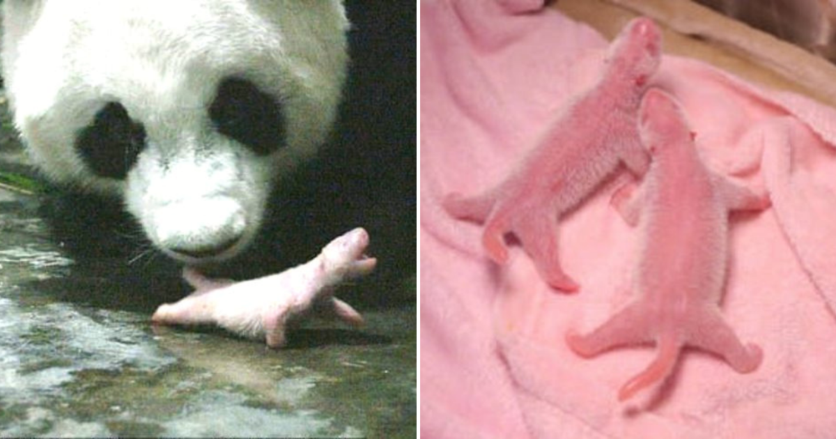 po4.png - 'Po' The Giant Panda Just Gave Birth To Two 'World's Heaviest Twin Panda Cubs'
