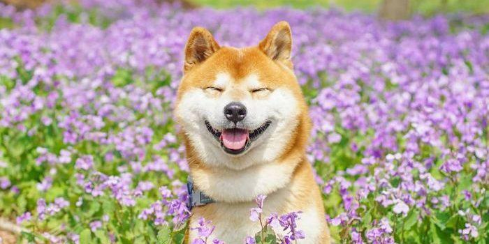 shiba inu dog flower fields photography masayo ishizuki japan 24 5cdbf37794320  700 e1563550420284.jpg - 19 Gorgeous Photographies Of The Cutest Flower Shiba Inu In Japan