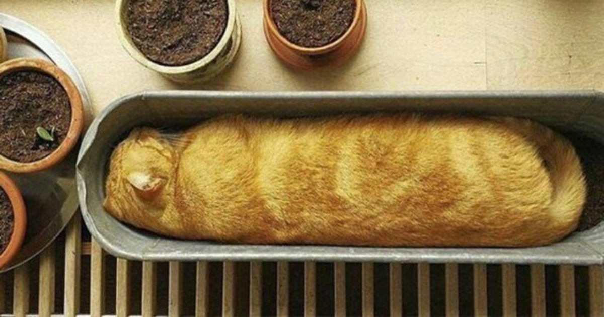 bread cat.png - 20 Cats Who Could Be Mistaken As Loaves Of Bread
