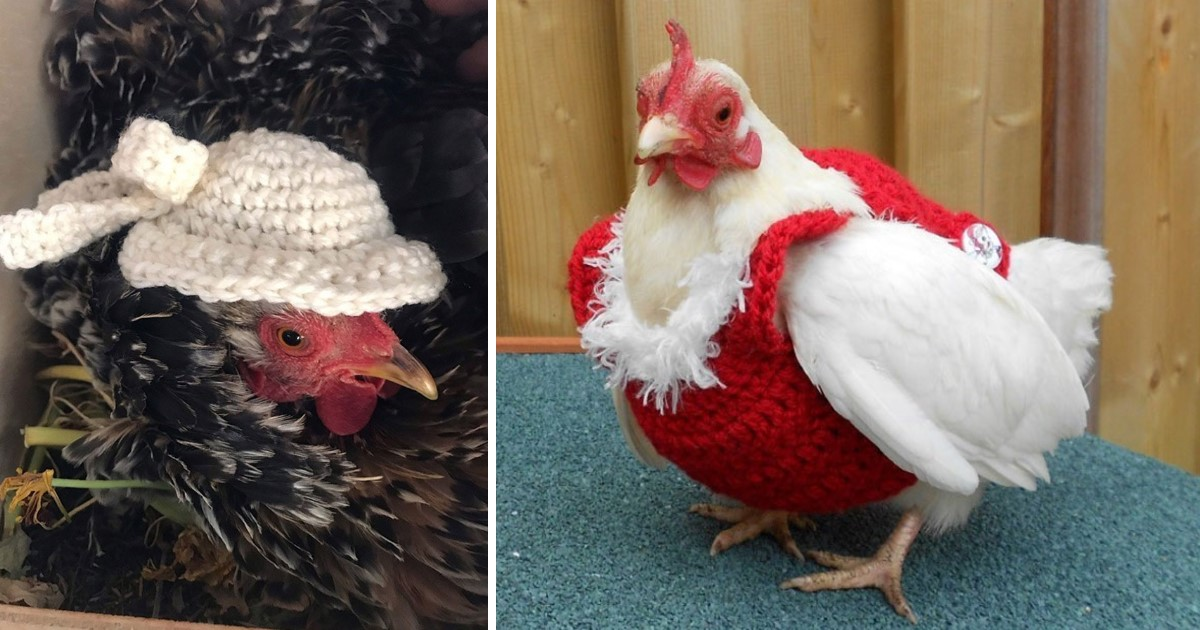a 107.jpg - These Chickens Look So Adorable With Their Stylish Knitted Outfits