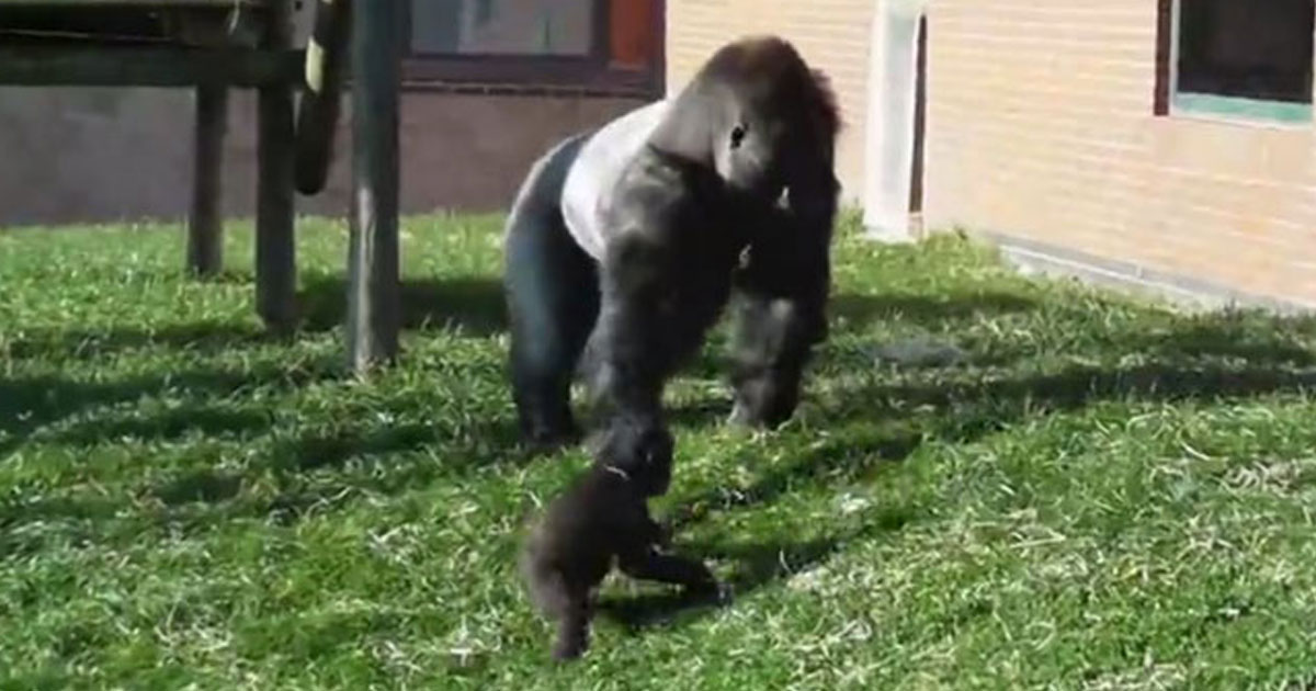 baby chimp kicked by father.jpg - Baby Gorilla Kicked By His Father In Front Of Zoo Visitors For Playing With Tree Branches