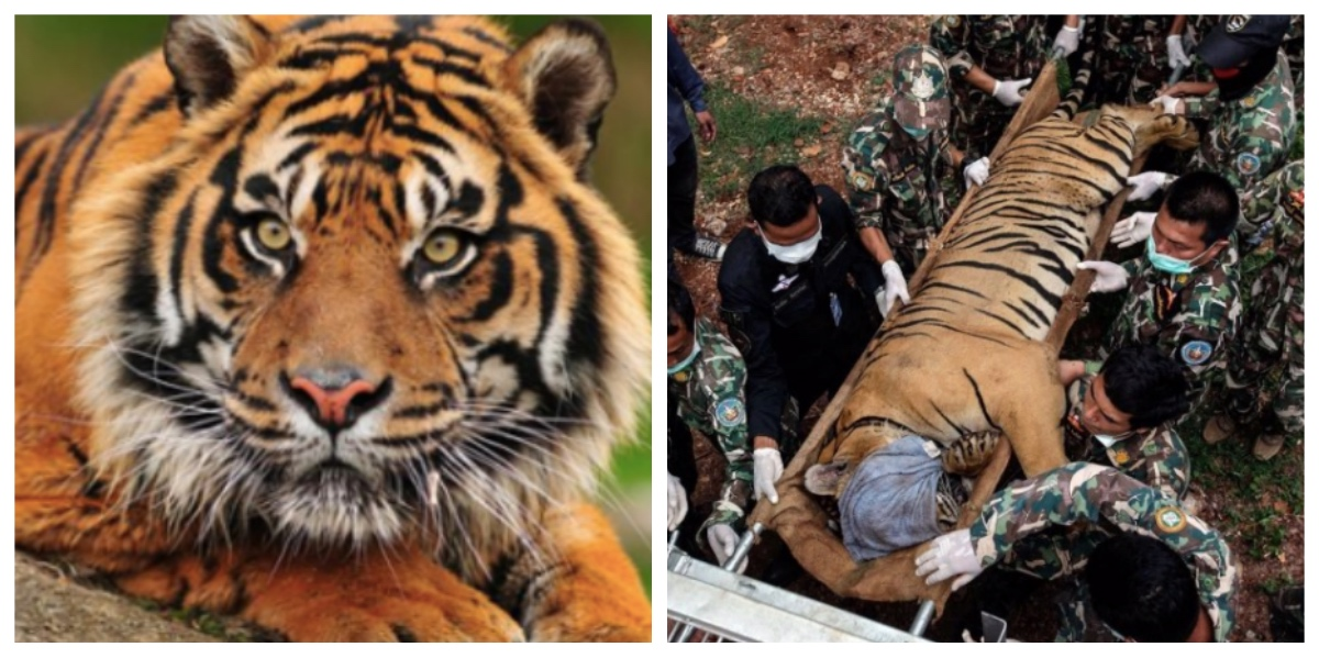 collage fotor 24.jpg - 保護されて救われたはずのトラ、半数以上が死亡 その原因とは