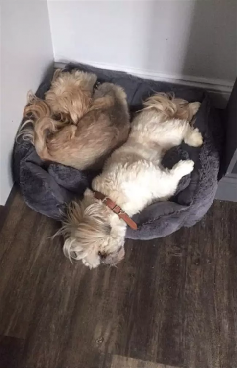 Loving Dog Always Leaves Space On Cushion For His Puppy Pal Who Passed Away One Year Ago *** Пёс уступает место лучшему другу, хотя того усыпили год назад.