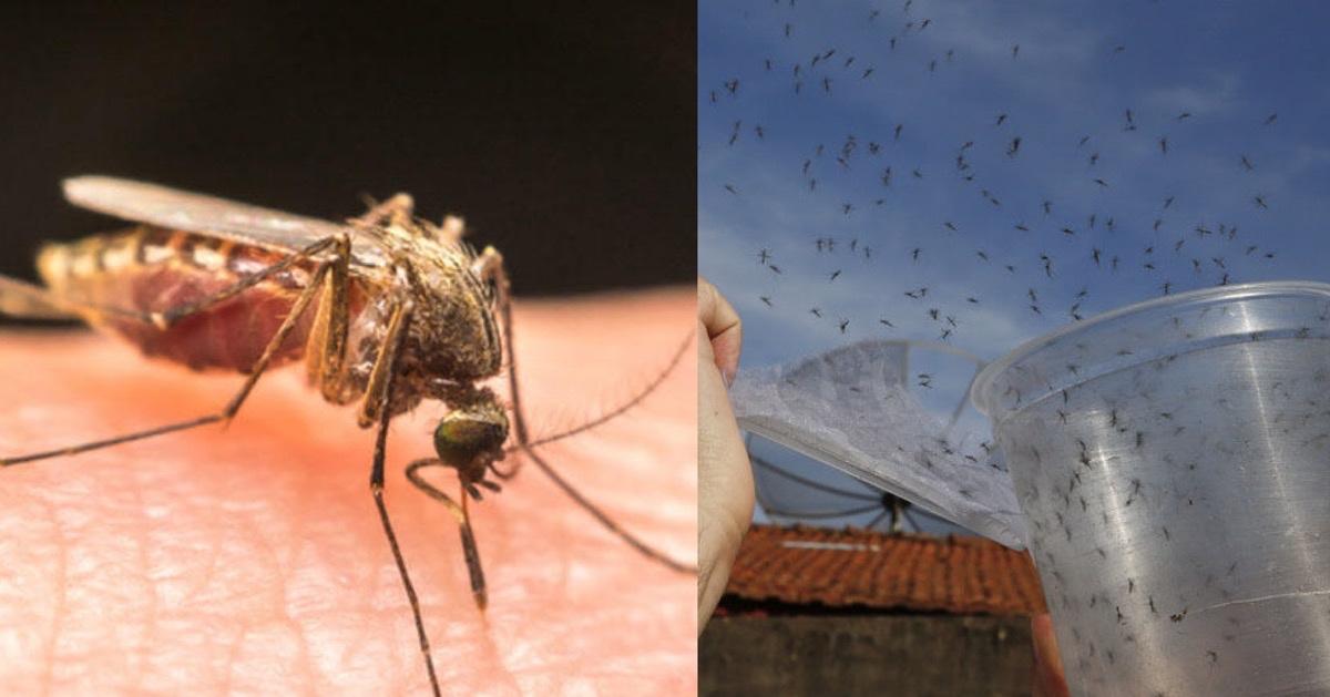 img 5410.jpg - 【予想外の結果】遺伝子組み換えされた蚊を野生に放ち撲滅する実験が失敗