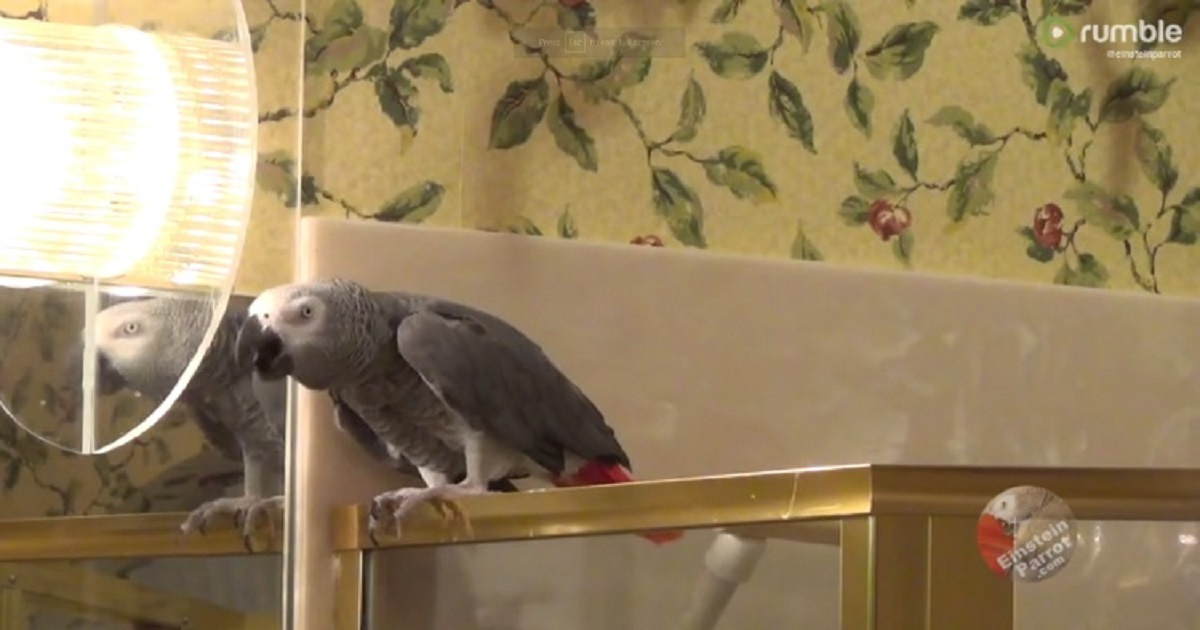 p3 5.jpg - Einstein The Talking Parrot Had The Cutest Conversation With His Owners About Their Nighttime Routine