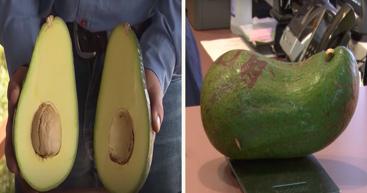 untitled 1 28.jpg - Introducing Avozillas - Big Avocados That Weigh 4 Pounds Each