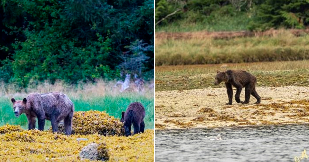 bear6.png - Heartbreaking Photos Show Starving And Emaciated Bears Wandering Through The Wilderness After Salmon Shortage
