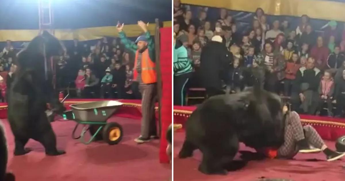 bears3.png - Un ours de presque 300kg a attaqué son dompteur au cirque