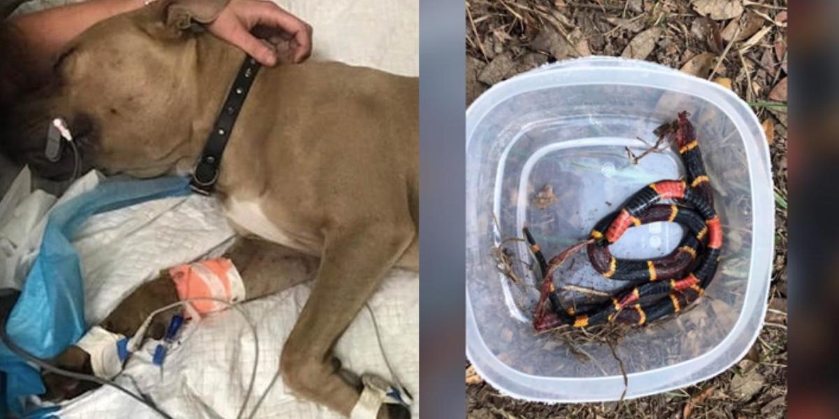 collage fotor 10.jpg - 毒蛇と戦って死んだピットブルの子犬 実は子ども二人を守るためだった?!