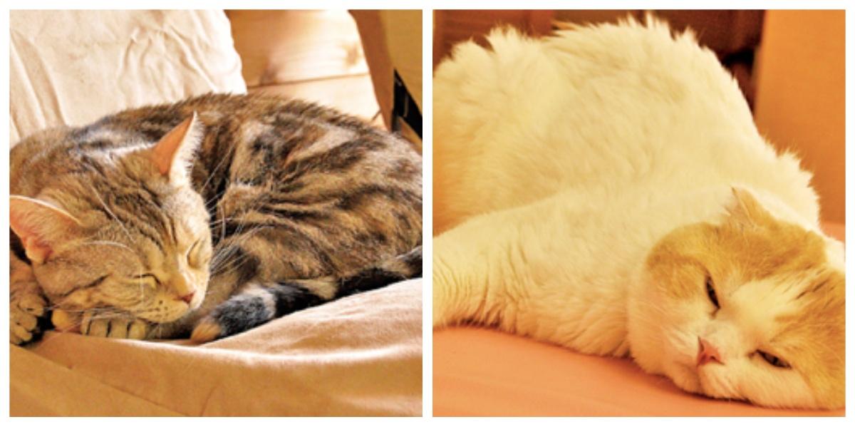 collage fotor 3.jpg - 収容された猫はペットホテルへ?!福岡市が、猫の新しい家族探しのための新制度を導入!