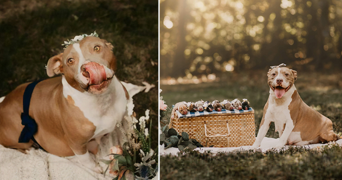 d5.png - This Pitbull Is Glowing Immensely In Her Own Maternity Photoshoot