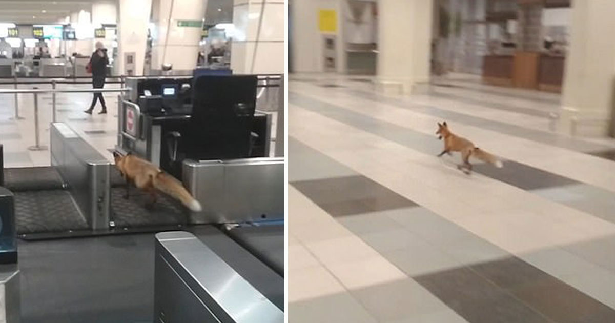 fox spotted airport.jpg - Fox Spotted Strolling Through Moscow Airport