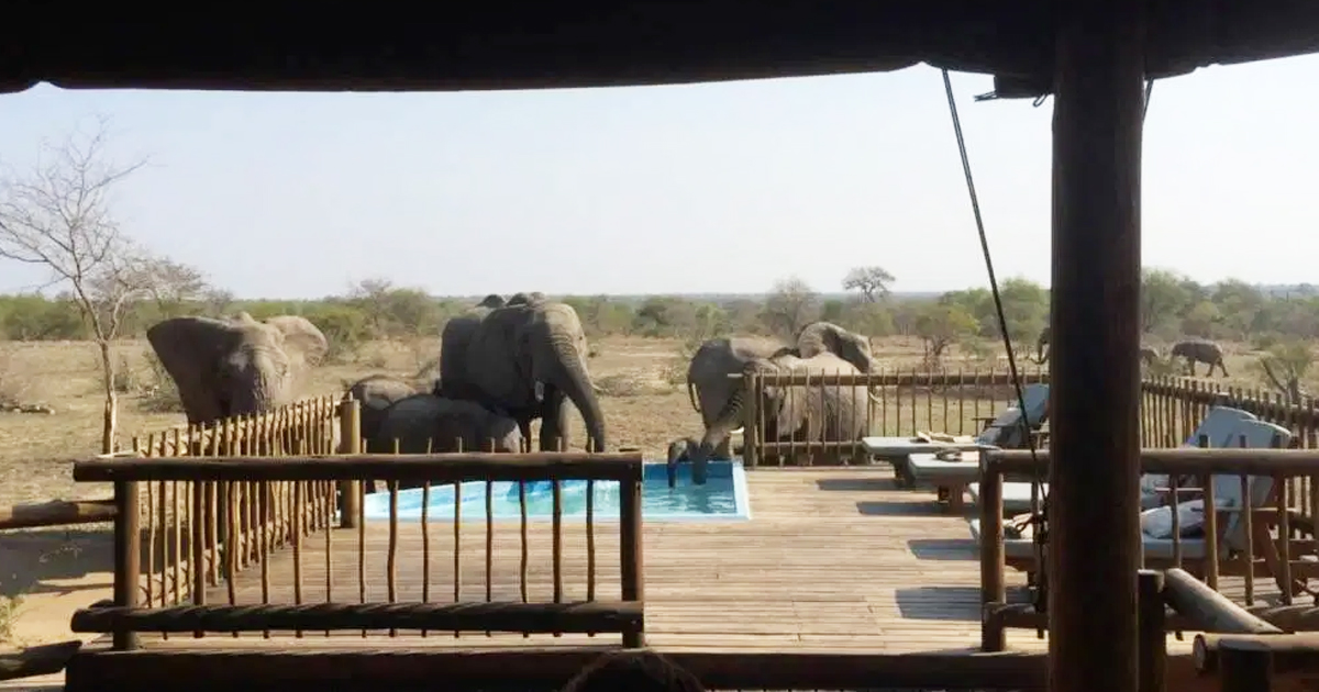 gsgsg.jpg - Tourists Were Shocked When Giant Elephants Entered A Hotel Pool To Quench Their Thirst