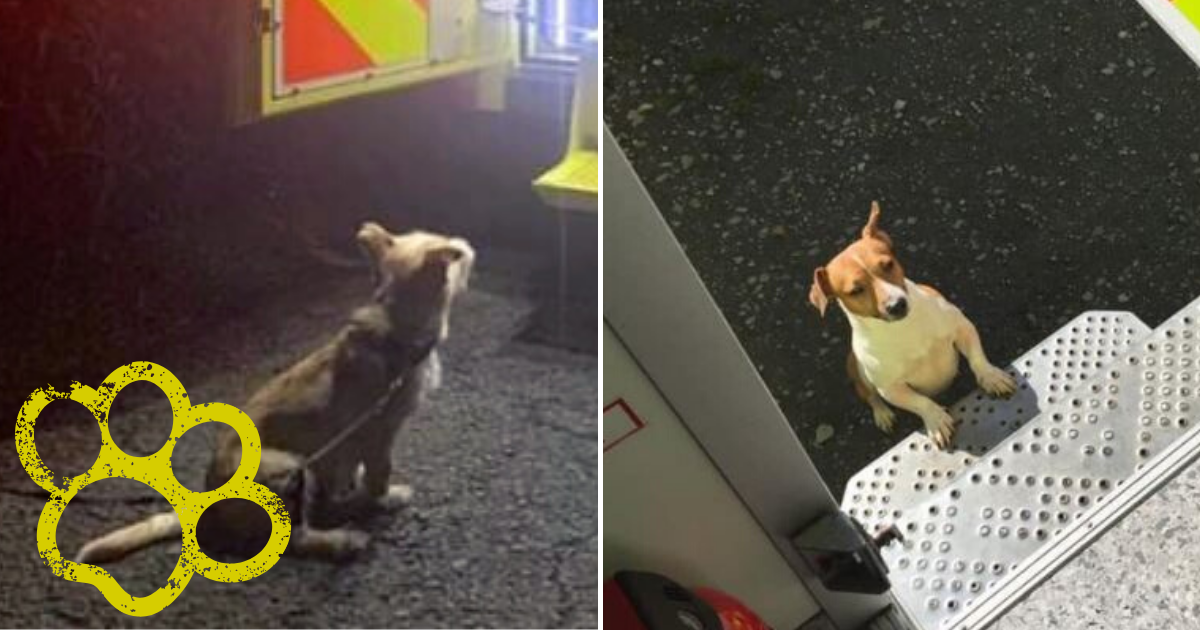 jack3.png - Loyal Dog Led Emergency Service Workers To Elderly Owner Who Fell Into A Ditch