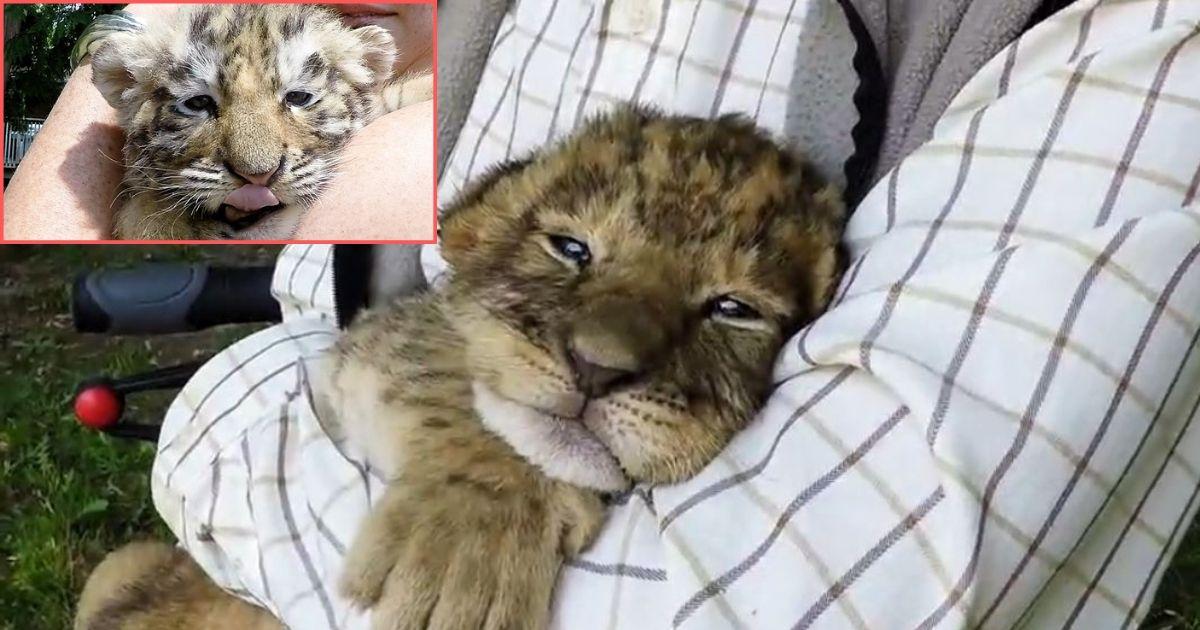 y1 1.jpg - Un mignon petit lionceau essaie de rugir