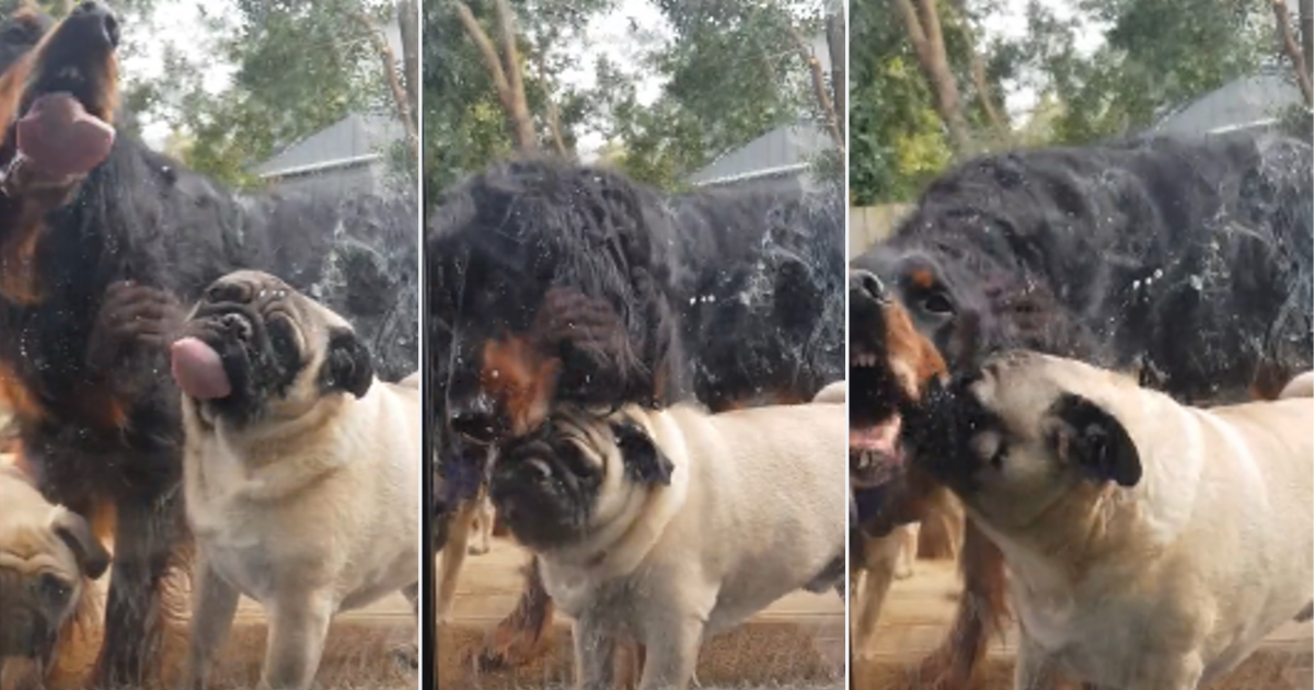 y2 3.png - Two Cute Little Dogs Can't Stop Licking The Window