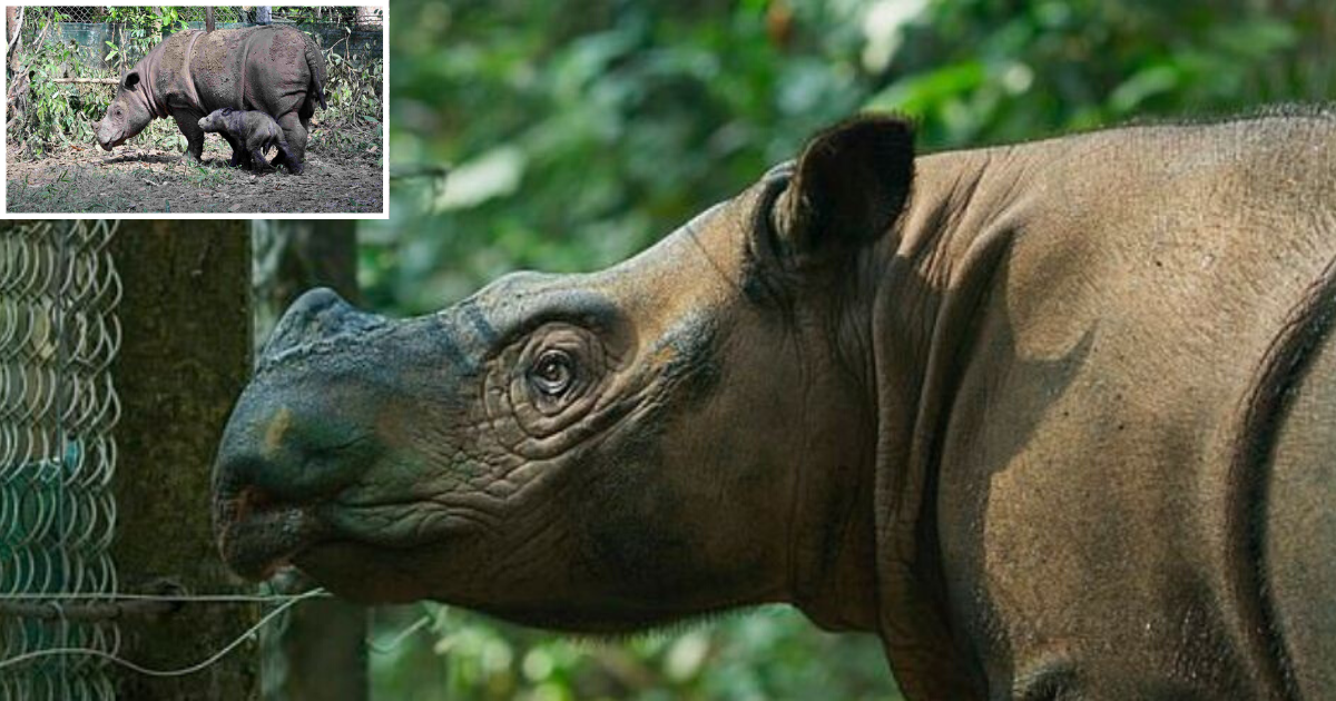 1 19.png - Last Sumatran Rhinoceros Died of Cancer In Malaysia and the Species Is Now Extinct in the Country