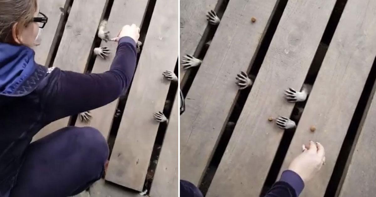 family feeding raccons.jpg - Video Of A Family Feeding Raccoons Hiding Under Their Front Door Deck