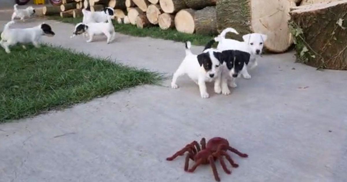 pups scared of robot spider.jpg - Vidéo mignonne : 10 bébés Jack Russell sont effrayés par une fausse araignée géante