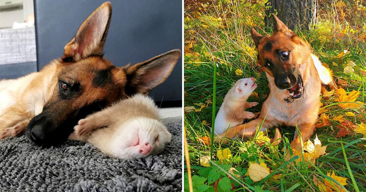untitled design 2019 11 10t134221 359.png - German Shepherd And Ferret Make Unlikely Best Friends