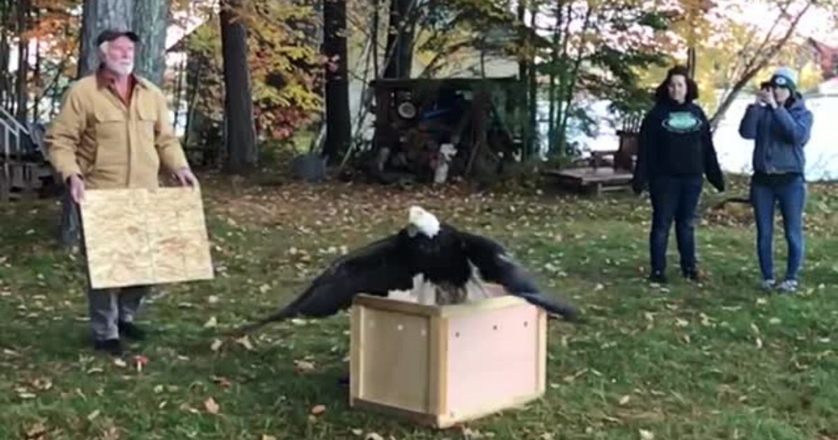 y3 5.jpg - Majestic Bald Eagle Returns Home to Nature