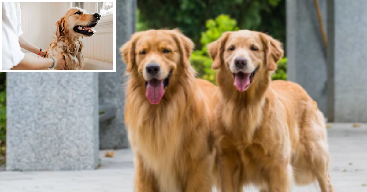 4 2.png - This Couple is Offering $40K to Someone Who Can Take Care of Their Golden Retrievers
