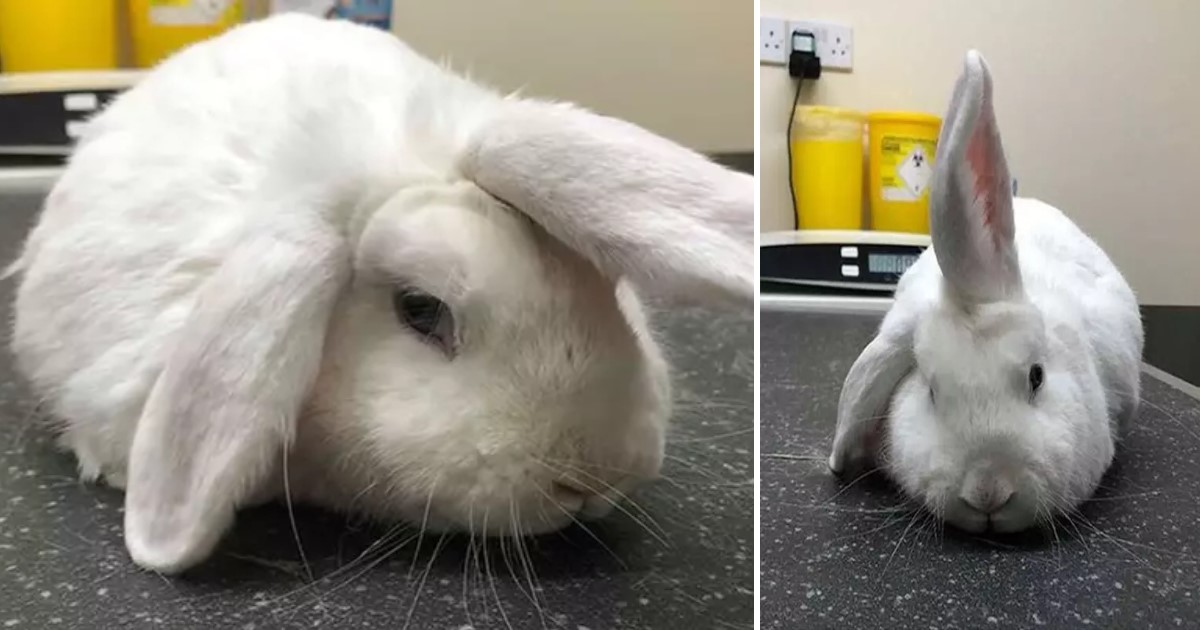 a 37.jpg - Four-Year-Old 'Unicorn' Rabbit Is Looking For A New Home This Christmas
