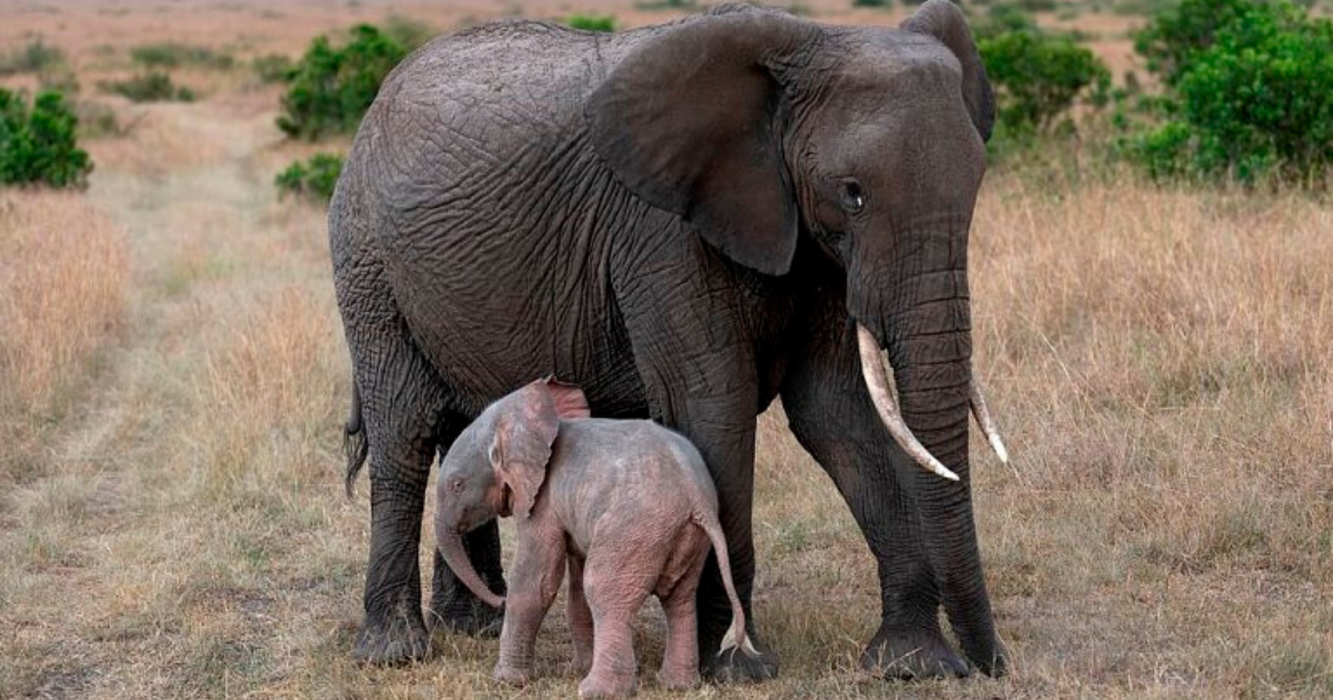 elephant6.png - Baby Pink Elephant Thrives In The Wild Despite Problems Caused By Skin Pigmentation
