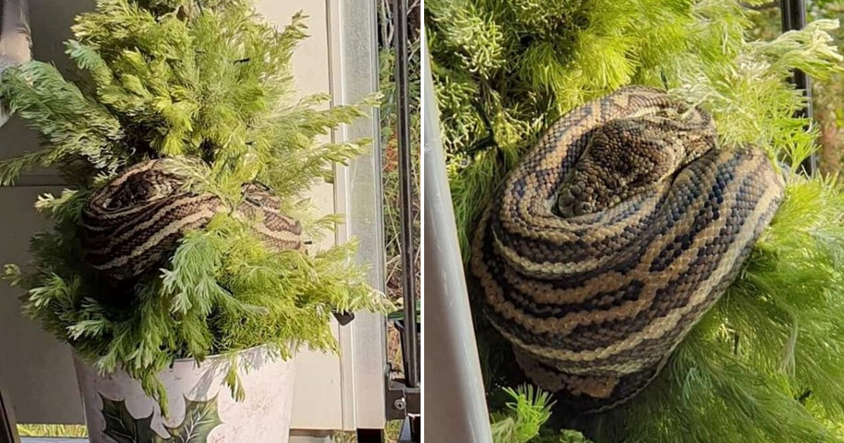 untitled design 11.png - Woman Returned Home To Find A Giant Python Decorating Her Christmas Tree