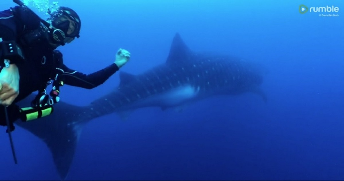 w3 4.jpg - A Scuba Diver Ruined Once-In-A-Lifetime Snap Of A Whale Shark By Getting In The Camera Frame